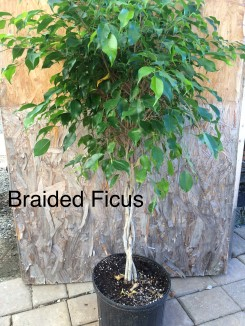 Braided Ficus